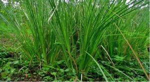 tanaman akar wangi