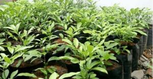 tanaman cendana